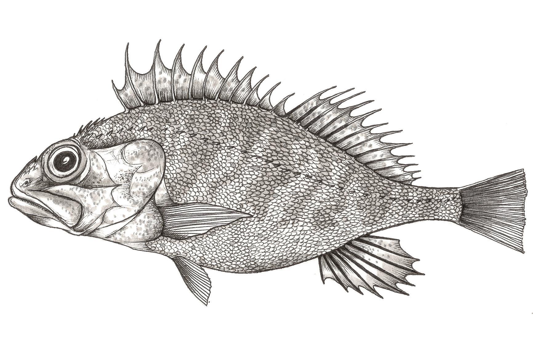 Cabrochu / Cabracho / Rascasse / Red Scorpionfish